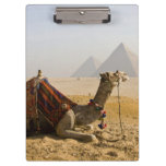 Egypt, Cairo. A lone camel gazes across the Clipboards