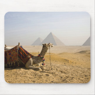 Egypt, Cairo. A lone camel gazes across the Mouse Mat