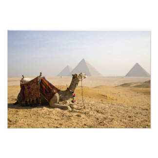 Egypt, Cairo. A lone camel gazes across the Photo Print