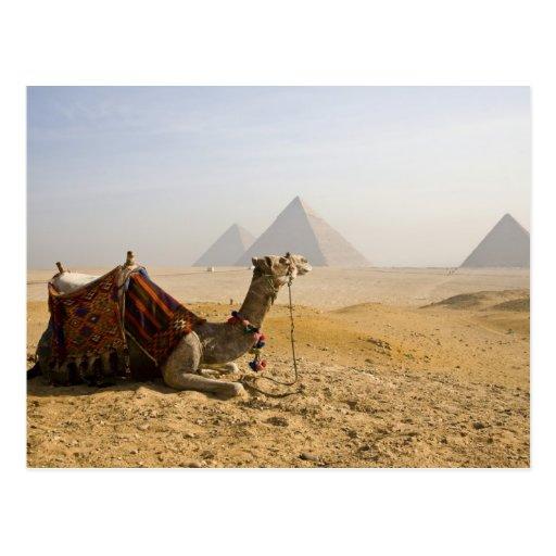 Egypt, Cairo. A lone camel gazes across the Post Card