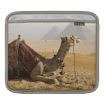 Egypt, Cairo. A lone camel gazes across the Sleeves For iPads