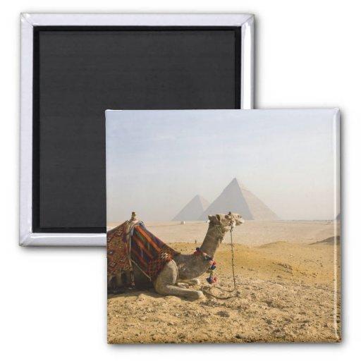 Egypt, Cairo. A lone camel gazes across the Square Magnet