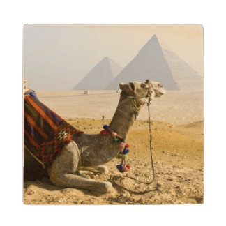 Egypt, Cairo. A lone camel gazes across the Wood Coaster