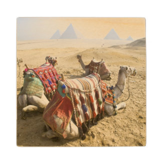 Egypt, Cairo. Resting camels gaze across the 2 Wood Coaster