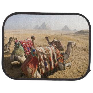 Egypt, Cairo. Resting camels gaze across the Car Mat