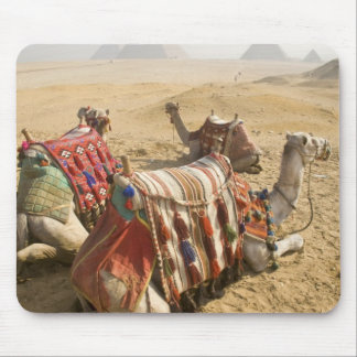 Egypt, Cairo. Resting camels gaze across the Mouse Mat