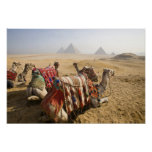 Egypt, Cairo. Resting camels gaze across the Posters