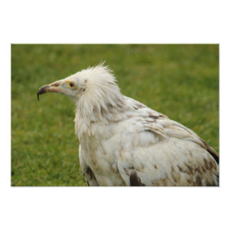 Egyptian Vulture Photo Print