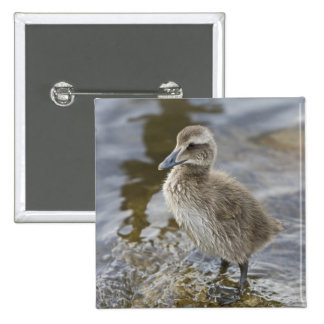 Eider chick in a pond in Reykjavik, Iceland. 15 Cm Square Badge