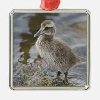 Eider chick in a pond in Reykjavik, Iceland. Silver-Colored Square Decoration