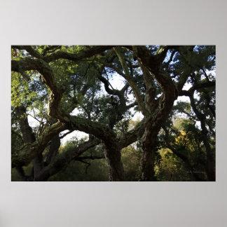 El frondoso alcornoque o árbol del corcho en monte impresiones