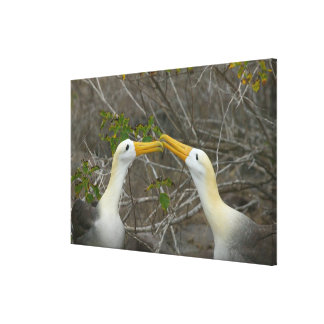 Elaborate courtship dance of Waved Albatros, Canvas Print