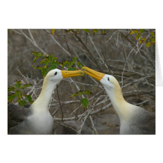 Elaborate courtship dance of Waved Albatros, Card