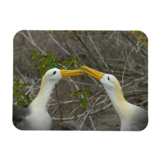 Elaborate courtship dance of Waved Albatros, Rectangular Photo Magnet