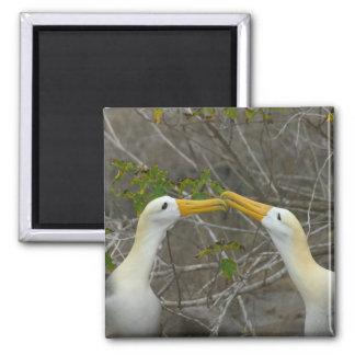 Elaborate courtship dance of Waved Albatros, Square Magnet