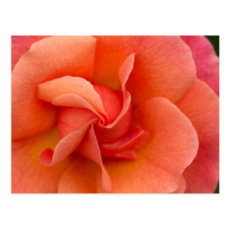 Election Day Rose Postcard