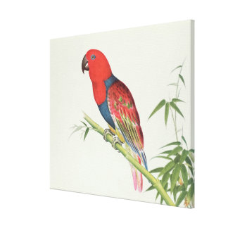 Electus Parrot, on a bamboo shoot Canvas Print