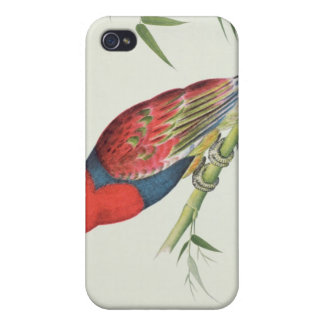 Electus Parrot, on a bamboo shoot Cases For iPhone 4