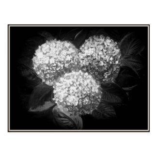 Elegant Black and White Hydrangea Paper Products Postcard