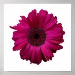 Elegant Pink Gerbera Daisy Poster