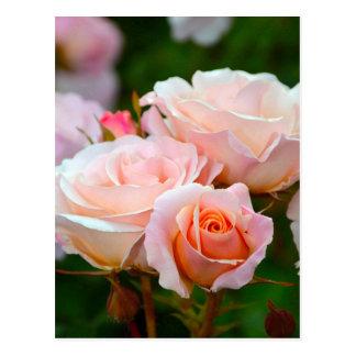 Elegant pink roses postcard