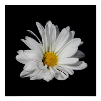Elegant White Daisy Flower Poster