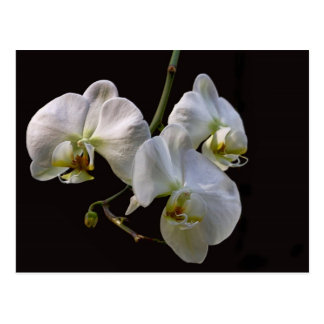 Elegant White Orchids on Black Postcard