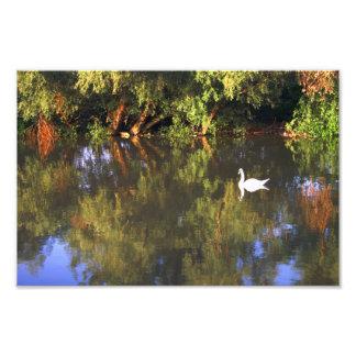 Elegant  White Swan on Lake - Nature Photography Photographic Print