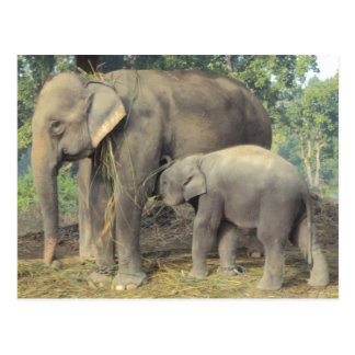 Elephant breeding center chitwan - babby and mommy postcard