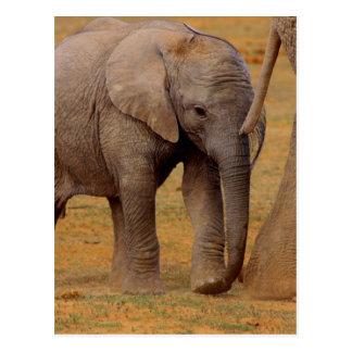elephant calf postcards