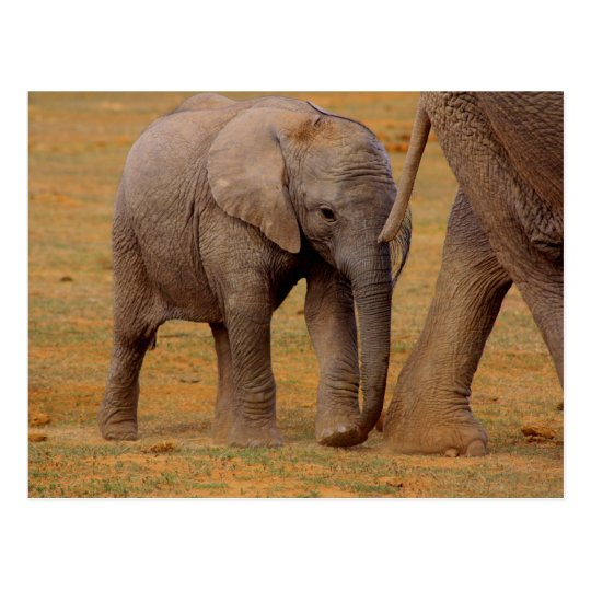 elephant calf postcard