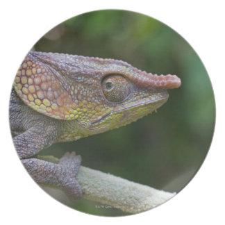 Elephant chameleon, Madagascar Plate