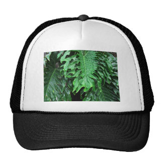 Elephant-Ear-Philodendron 20 Cap