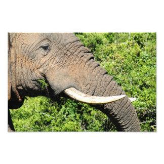 Elephant eating grass macro shot photo print