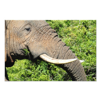 Elephant eating grass macro shot photographic print