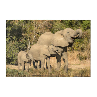Elephant Family Drinking Acrylic Print