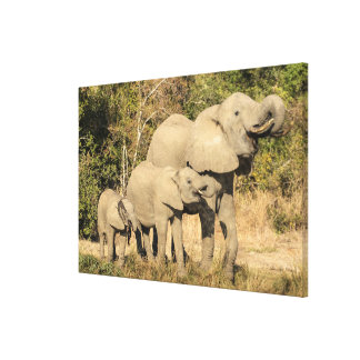 Elephant Family Drinking Canvas Print