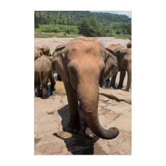 Elephant group portrait, Sri lanka Acrylic Wall Art