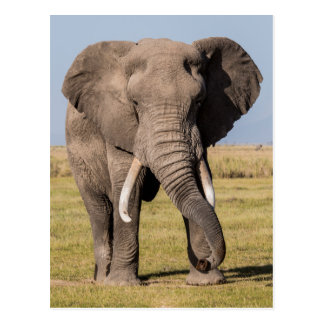 Elephant in an Aggressive Pose Postcard