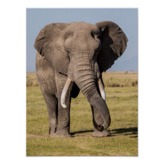 Elephant in an Aggressive Pose Poster