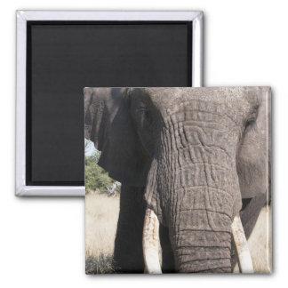 Elephant (Loxodonta africana), Abu Camp 3 Square Magnet