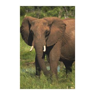 Elephant (Loxodonta Africana), Hwange National Stretched Canvas Prints
