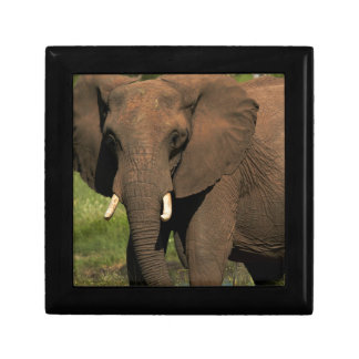 Elephant (Loxodonta Africana), Hwange National Gift Box