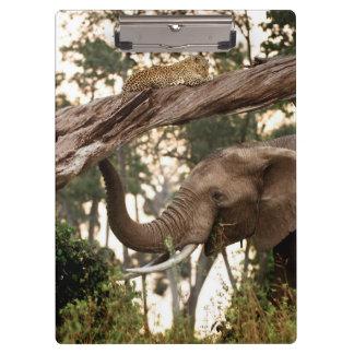 Elephant (Loxodonta) Testing Scent Of Leopard Clipboard