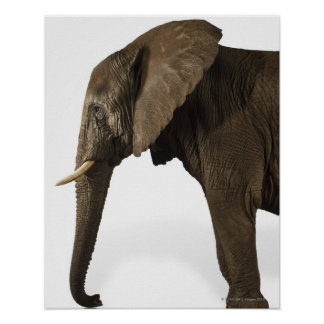 Elephant on white background, side view poster