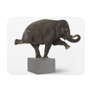 Elephant performing trick on box rectangular photo magnet