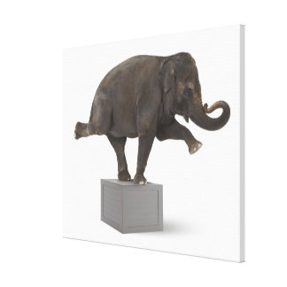 Elephant performing trick on box stretched canvas prints