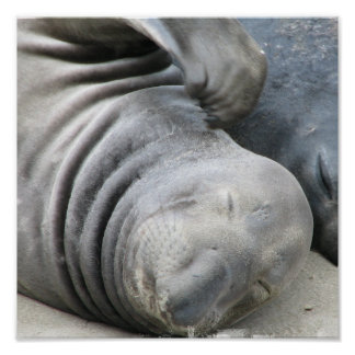 Elephant Seal Print