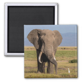 Elephant Searching the Ground Magnet