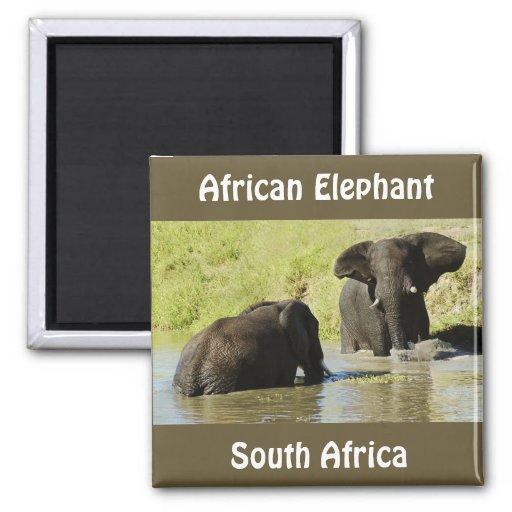 Elephant swimming (african elephant) magnet